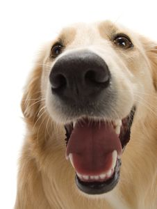 Free Golden Retriever Royalty Free Stock Images - 2633919