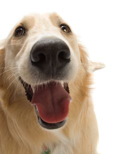Free Golden Retriever Stock Photography - 2633922