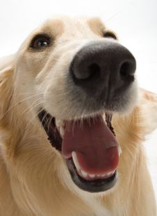 Free Golden Retriever Stock Images - 2633924