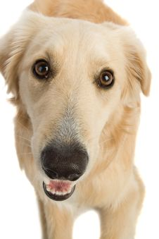 Free Golden Retriever Royalty Free Stock Photography - 2633927
