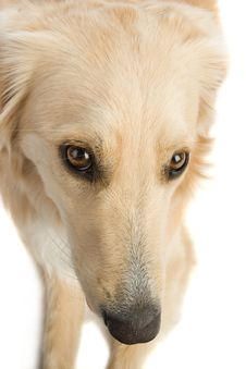 Free Golden Retriever Stock Image - 2633931