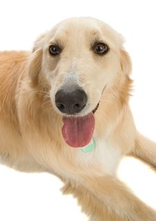 Free Golden Retriever Royalty Free Stock Image - 2633936