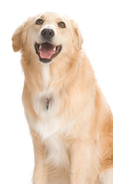 Free Golden Retriever Stock Photography - 2633942