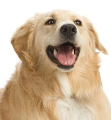 Free Golden Retriever Royalty Free Stock Photo - 2633945