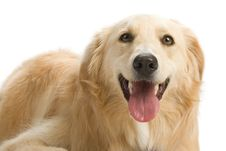 Free Golden Retriever Royalty Free Stock Image - 2633946