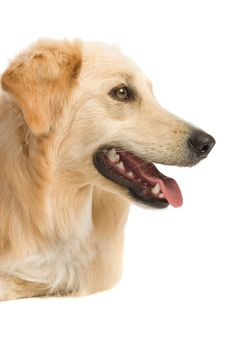 Free Golden Retriever Royalty Free Stock Photos - 2633948