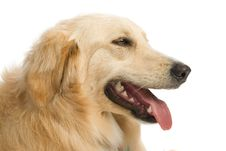 Free Golden Retriever Royalty Free Stock Photo - 2633985