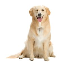 Free Golden Retriever Royalty Free Stock Photos - 2633998