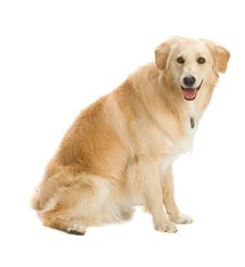 Free Golden Retriever Royalty Free Stock Photography - 2634007