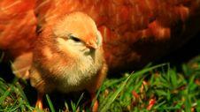 Free Aracauna Chick 4 Stock Photo - 2634970