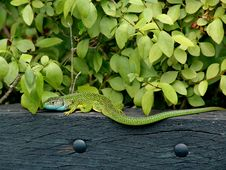 Free Green Lizard And Leaves Royalty Free Stock Photos - 2635878