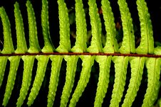 Fern Frond Detail Royalty Free Stock Photo