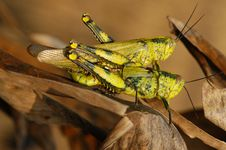 Free Grass Hopper Mating Royalty Free Stock Photos - 2636288
