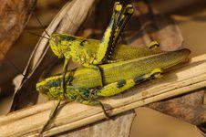 Free Grasshopper Mating Stock Image - 2636331