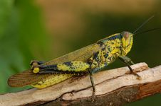 Free Brown Color Grasshopper Royalty Free Stock Photos - 2636338
