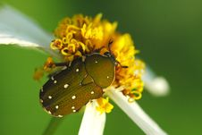 Beautiful Beetle And Flowers Royalty Free Stock Photo