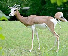 Free Mhorr Gazelle 1 Stock Image - 2637331