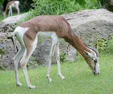 Free Mhorr Gazelle 2 Stock Image - 2637401