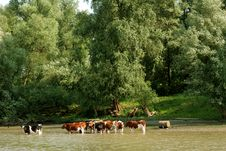 Free Cows In The Water Stock Image - 2638111