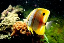 Free Butterfly Fish Stock Image - 2639991