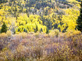 Free Aspens And Evergreens Royalty Free Stock Photo - 26304775