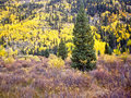 Free Bright Yellow Aspens Royalty Free Stock Images - 26304969