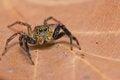 Free Jumper Spider Stock Image - 26305361