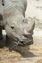 Free White Rhinoceros Royalty Free Stock Images - 26307369