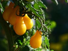 Free Growing Yellow Pear Tomatoes In Afternoon Light Stock Image - 26303791