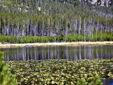 Free Reflections On Lily Pond In Yellowstone Stock Photography - 26304782