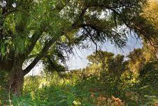 Free Tree Royalty Free Stock Photography - 26306517