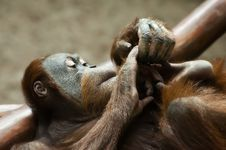 Free Sumatran Orangutan Royalty Free Stock Photo - 26307335