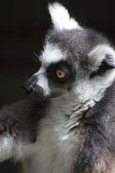 Free Ring-tailed Lemur Catta Royalty Free Stock Photo - 26307385