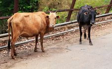 Free Two Old,hungry & Weak Cows Of Brown & Black Color Royalty Free Stock Photos - 26309668