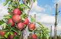 Free Closeup Of Tasty Apples  Ready For Harvesting Royalty Free Stock Photos - 26310768