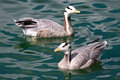Free Bar-headed Geese Stock Photos - 26317013