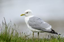 Free Gull Stock Image - 26310541