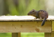 Free Nozy Chipmunk Sitting On A Table Stock Image - 26311791