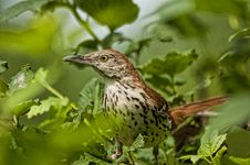 Free A Thrush Bird Watches From A Bush. Royalty Free Stock Photo - 26312175