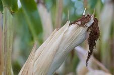 Free Corn Plant Closeup Stock Photos - 26313253