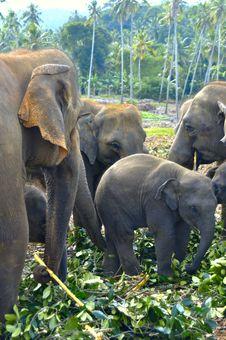 Free Family Of Elephants Royalty Free Stock Photo - 26316385