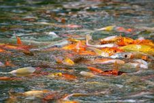Free Japanese Koi Fish Feeding Frenzy Stock Photos - 26317073