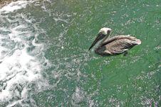 Free Pelican Stock Photos - 26318883
