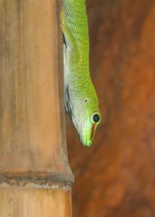 Free Gecko Royalty Free Stock Photography - 26318887