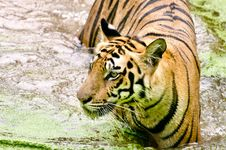 Free Tiger In A River Stock Images - 26322144