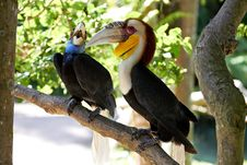 Free Couple Of Bar-pouched Wreathed Hornbills In Nature Stock Photos - 26322963