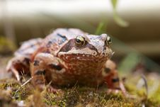 Free English Common Toad Royalty Free Stock Images - 26325119