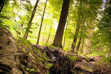 Free Green Pine Forest Royalty Free Stock Photo - 26325135
