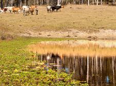 Water Reflections On Dam In Cattle Country Stock Photo