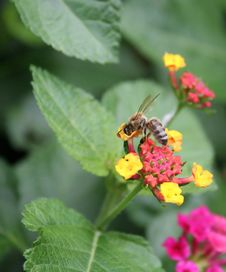 Honey Bee Stock Photography